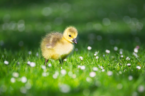 cute-animals-slick-lips-lip-gloss-lip-balm-duckling