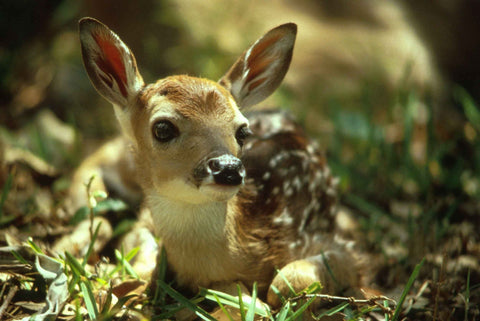 cute-animals-slick-lips-lip-gloss-lip-balm-fawn