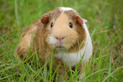 cute-animals-slick-lips-lip-gloss-lip-balm-guinea-pig
