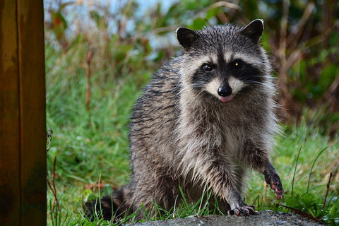 cute-animals-slick-lips-lip-gloss-lip-balm-raccoon
