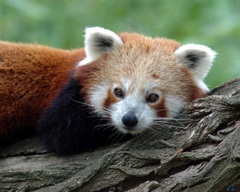 cute-animals-slick-lips-lip-gloss-lip-balm-red-panda