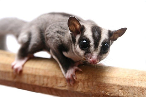 cute-animals-slick-lips-lip-gloss-lip-balm-sugar-glider