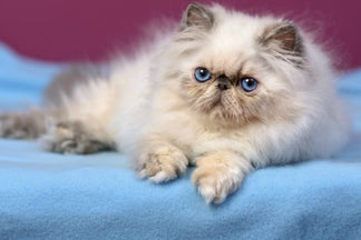 image Four of the Friendliest Cat Breeds