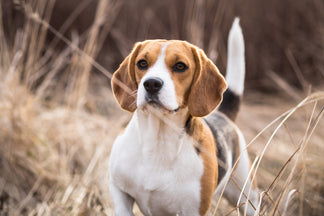 image Getting to Know the Beagle