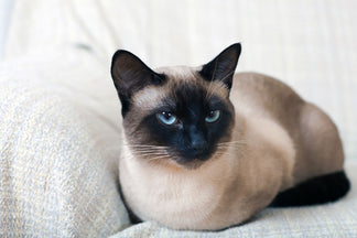 image for Getting to Know Your Siamese Cat