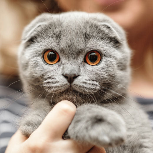 Getting to Know Your Scottish Fold Cat – petnet.io