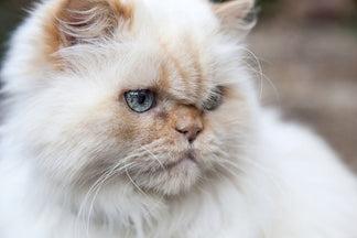 image Getting to Know Your Himalayan Cat
