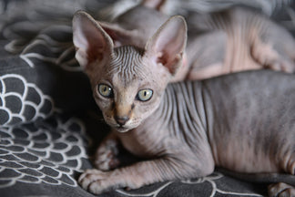 image Getting to Know Your Sphynx Cat
