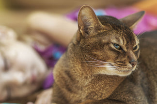 image Getting to Know Your Abyssinian