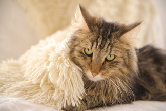 image Getting to Know Your Norwegian Forest Cat