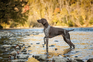 image AKC Breed Groups: Sporting Dogs