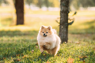 image for Getting to Know Your Pomeranian
