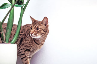 image Getting to Know Your Ocicat