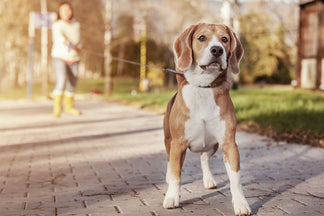 image Benefits of the Daily Walk for Your Dog