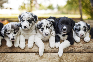 image Getting to Know Your Border Collie