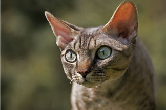 image Getting to Know Your Devon Rex