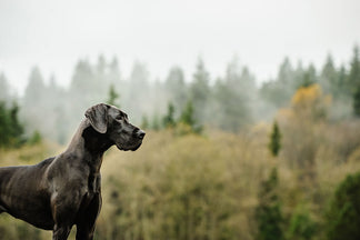 image for Getting to Know Your Great Dane