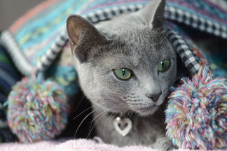 image Getting to Know Your Russian Blue Cat
