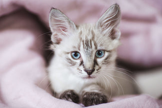 image Getting to Know Your Siberian Cat