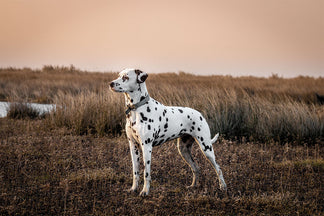 image Getting to Know Your Dalmatian