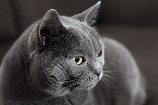 image Getting to Know Your Chartreux Cat