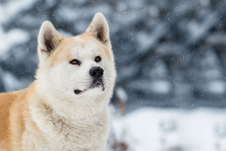 image for Getting to Know Your Akita