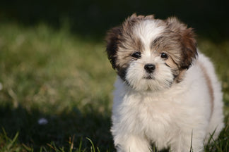 image for Getting to Know Your Lhasa Apso