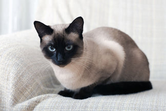 image Getting to Know Your Tonkinese Cat