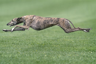 image Getting to Know Your Greyhound