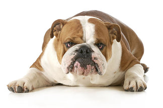 image for U.S. Pet Obesity: The Total Number of Pounds our Dogs are Overweight