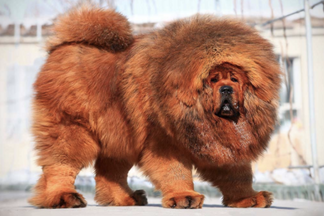 image for Hilarious and Adorable Dog Breeds You've Never Heard Of