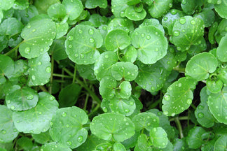 image for Watercress: Pet Food Ingredients A to Z