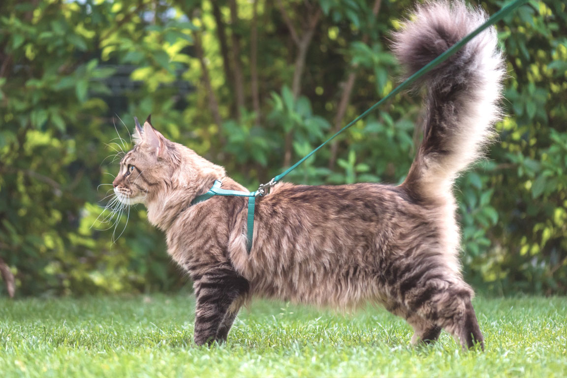 123-3-maine_coon