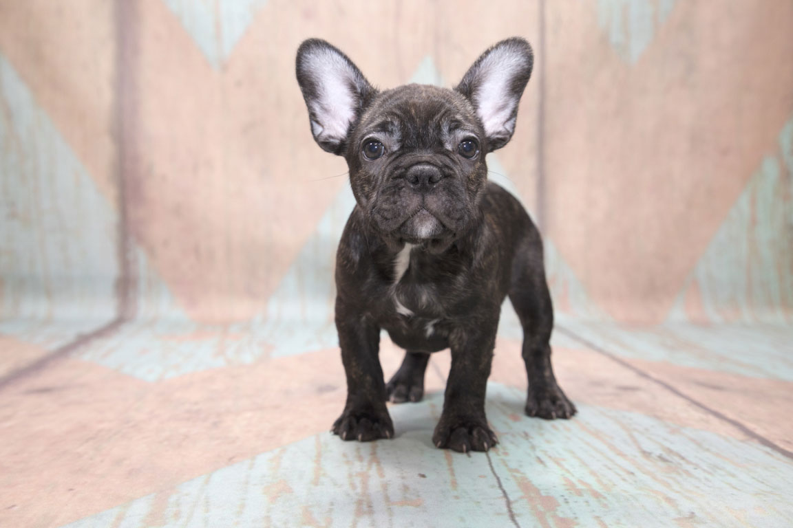 151-2-french_bulldog