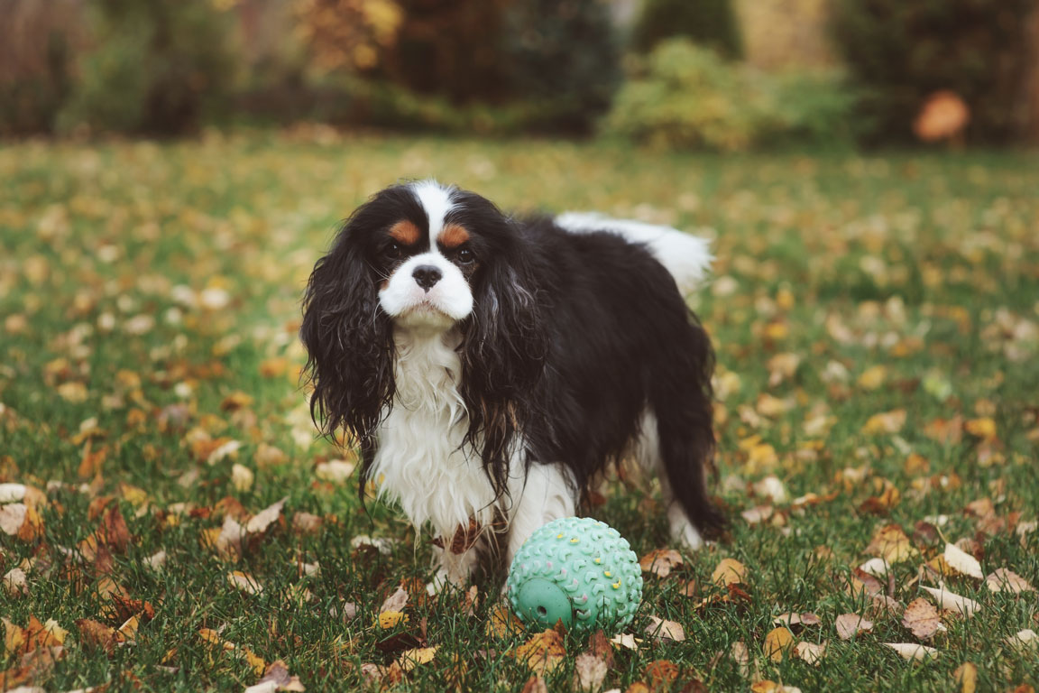 getting to know your cavalier king charles spaniel