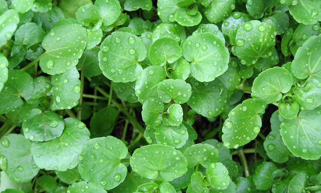 Watercress L