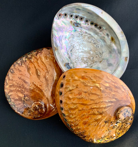 Color Washed Copper Midae Abalone Shell