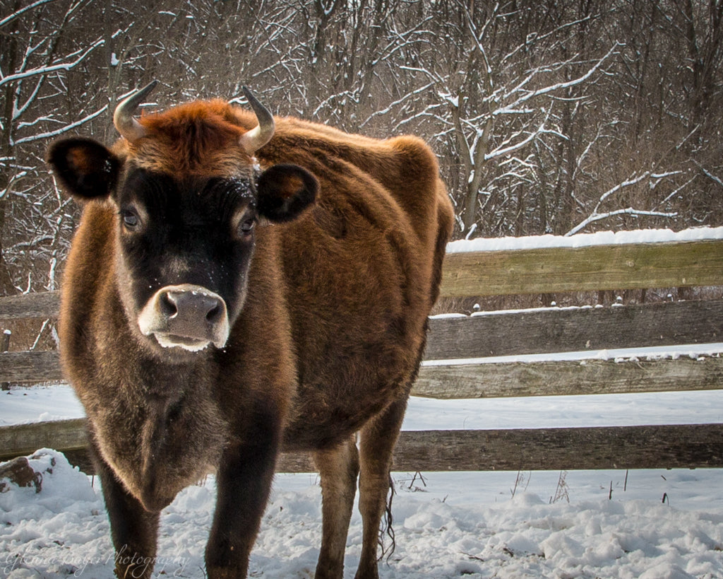 Brown cow in the Snow