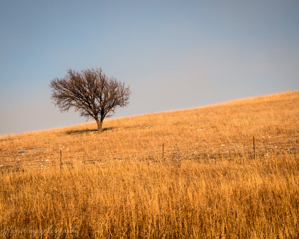 Lone tree on a grassy hillside in Kansas