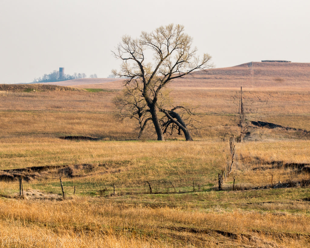 Lone tree in the grassy Flint Hills of Kansas