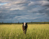 Kansas Cow, Sky, Cloudy, Grass, Green, Blue