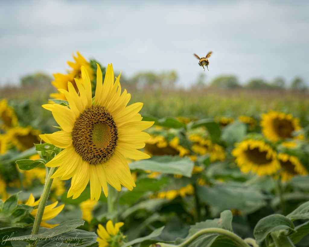 Sunflower field and bee in Kansas