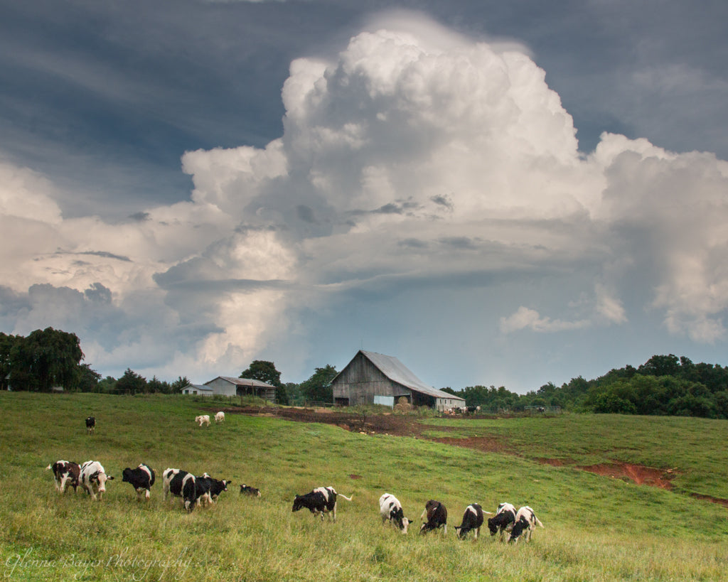 Virginia farm with herd of cattle on hillside and storm clouds