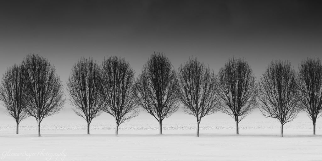 Line of Trees in Snow in black and white