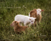 Three Little Lambs, Brown, White, Grass, Green, Song Verse