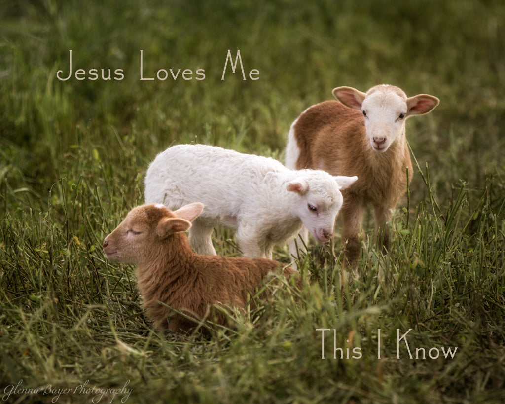 Three little lambs in green pasture with song verse