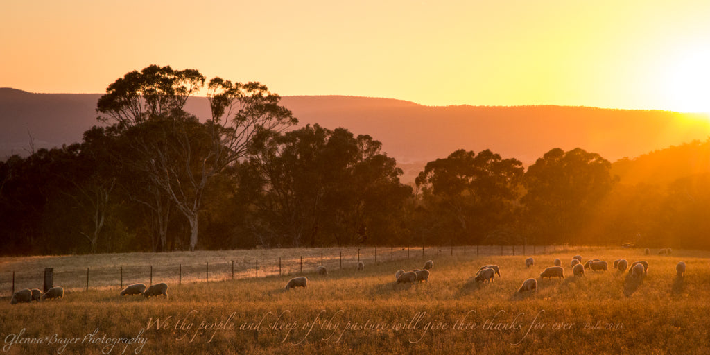 Flock of sheep in pasture during orange sunrise in Australia with scripture verse
