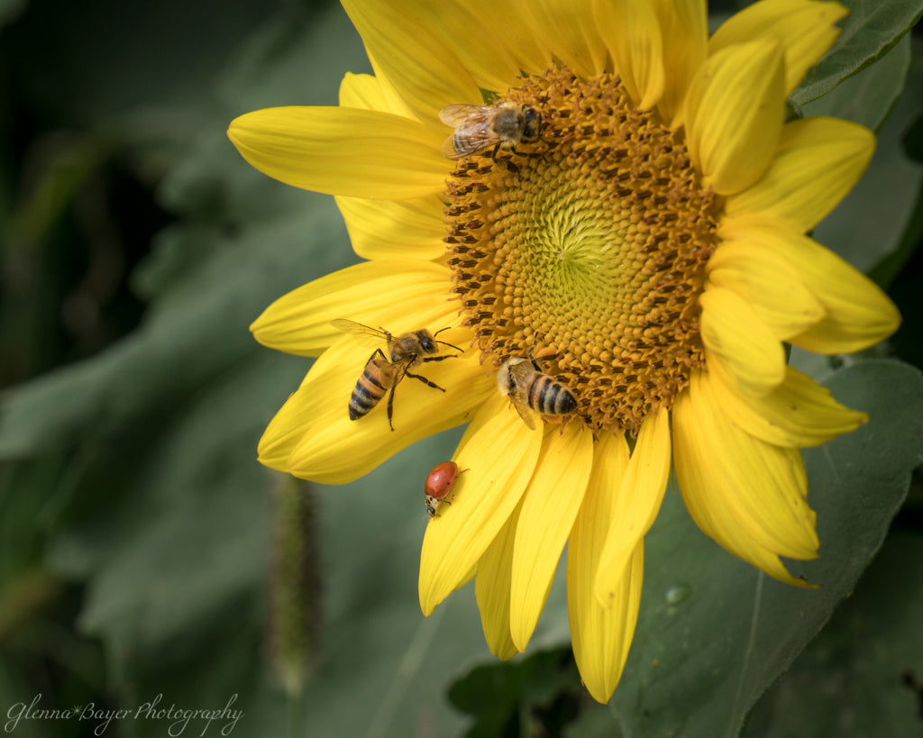 Ladybug and bees on yellow sunflower in Kansas