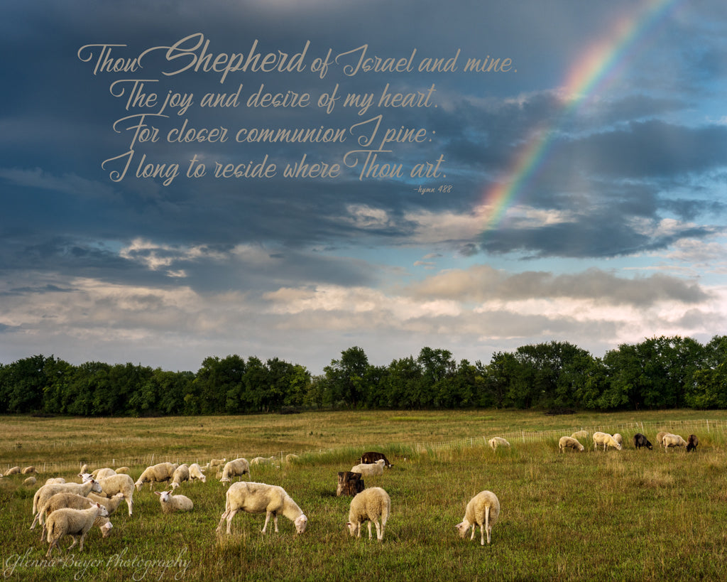Flock of sheep in pasture with rainbow in Douglas County, Kansas with scripture verse