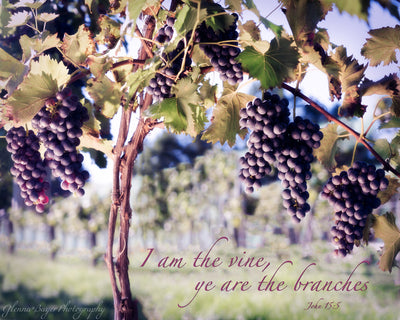 Grapes on grapevine in vineyard with scripture verse